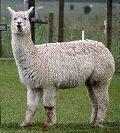 440px-Alpaca_(31562329701).jpg