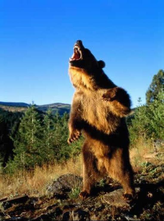 angry bear standing (1).jpg