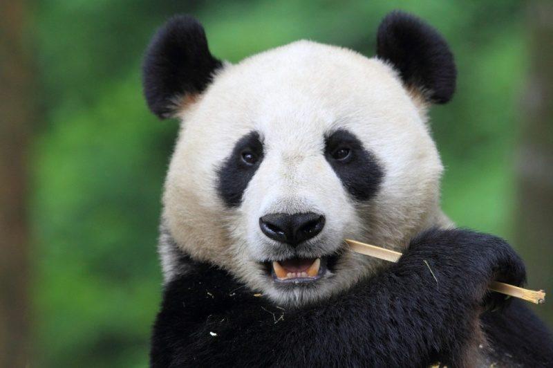 Panda-Photo-1024x682.jpg