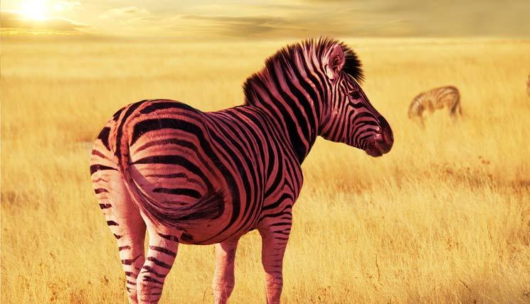 pinkzebra-savannah.jpg